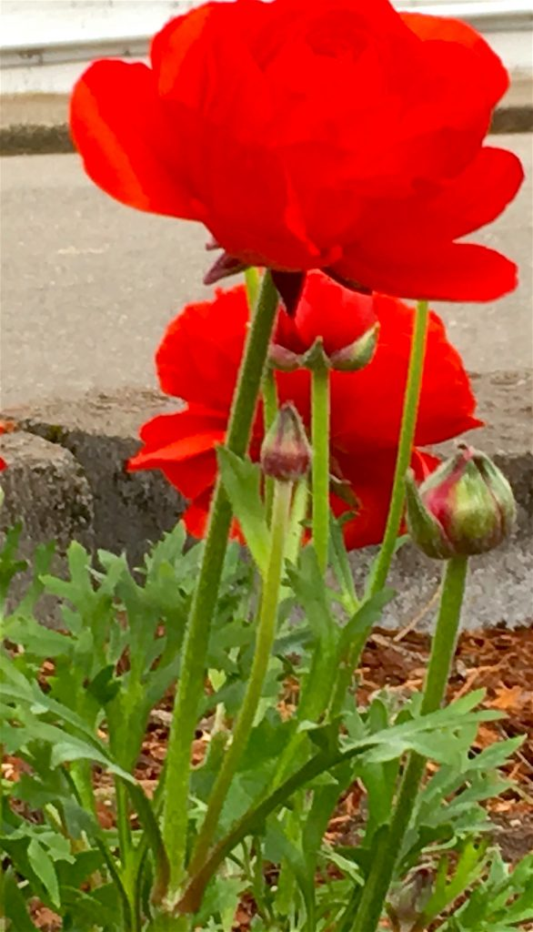 Red Ranunculus have a lacey foliage